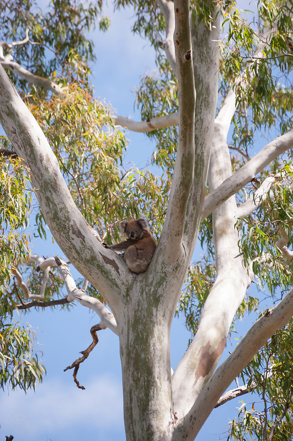 A koala rests in the fork of a eucalypt tree in the Adelaide hills, South Australia.