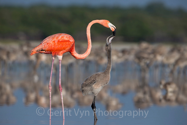 An adult American Flamingo (Phoenicopterus ruber) feeding its chick crop milk. Rio Lagartos Biosphere Reserve, Mexico. July.