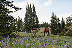 A young foal plays among the wildflowers while its mother grazes nearby in the Pryor Mountains, Montana.