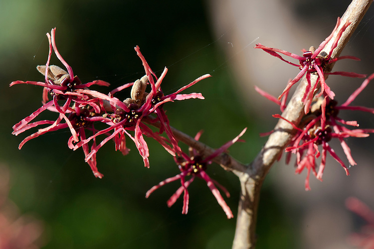 Witch hazel (Hamamelis x intermedia 'Livia'), end January.