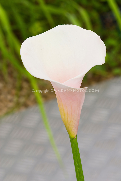Calla lily Crystal Blush flower white with pink, Zantedeschia summer flowering bulb