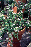 Rosmarinus officinalis 'Prostratus' in small pot growing indoors, herb rosemary in terracotta container, in bloom with lavender flowers