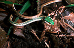 Green Headed Tree Snake, Leptophis mexicanus, feeding on frog, with prey