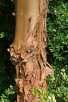 Acer griseum Bark (Paperbark Maple Tree)