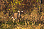 Young white-tailed buck standing in the shadows of a northern Wisconsin field.