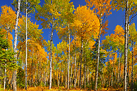 Trembling aspen Trembling aspen (Populus tremuloides) forest in autumn colors<br />