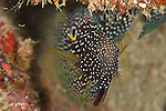 Comet fish (Calloplesiops altivelis)