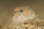 Sand goby (pomatoschistus minutus) under Swanage pier, Dorset, United Kingdom