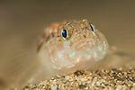 Sand goby (pomatoschistus minutus) under Swanage pier, Dorset, United Kingdom