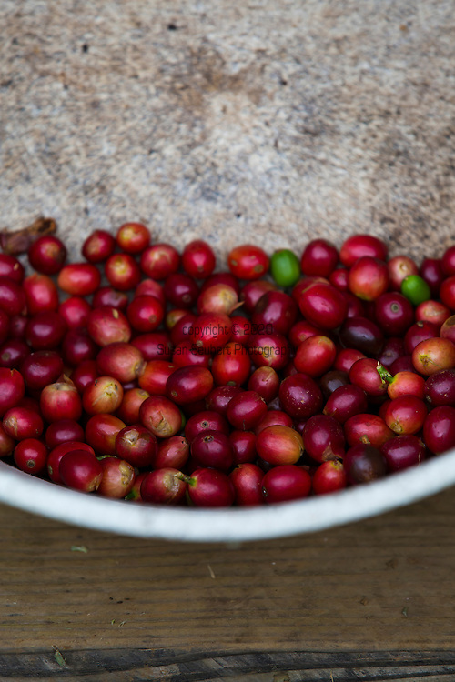 Freshly harvested coffee, known as cherry, from the coffee farm in an area called Cloud Rest in the district of Ka'u on the Big Island of Hawaii, USA, America