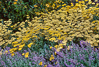 Achillea 'Moonshine' (Yarrow) Yellow flowering in perennial border