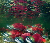 RY0781-D. Sockeye Salmon (Oncorhynchus nerka) undergo an epic migration from the open sea to their spawning grounds hundreds of miles upriver. Adams River, British Columbia, Canada.<br /> Photo Copyright &copy; Brandon Cole. All rights reserved worldwide.  www.brandoncole.com