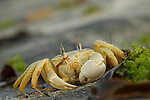 Red Sea Ghost Crab (Ocypode saratan), Salalah, Oman