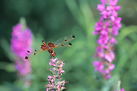 Red Saddlebags Dragonfly,  backyard meadow, New Jersey