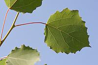 Zitterpappel, Zitter-Pappel, Pappel, Espe, Blätter, Blatt vor blauem Himmel, Populus tremula, Aspen