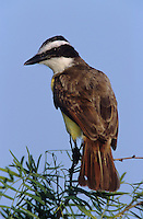 Great Kiskadee, Pitangus sulphuratus,adult, Lake Corpus Christi, Texas, USA, April 2003