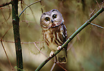 Northern saw-whet owl, Olympic National Park, Washington