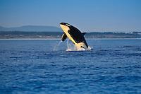 Killer Whale ( Orcinus orca) breaching in Haro Strait in the San Juan Islands, Washington, USA.