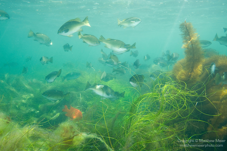 San Clemente Island, Channel Islands, California; an aggregation of Opaleye (Girella nigricans) and Garibaldi (Hypsypops rubicundus) fish swim over kelp beds in the shallow water