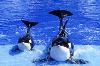 Two killer whales posing in the blue pool of San Diego Sea World foto, reise, photograph, image, images, photo,<br /> photos, photography, picture, pictures, urlaub, viaje, vacation, imagen, viagi, stock