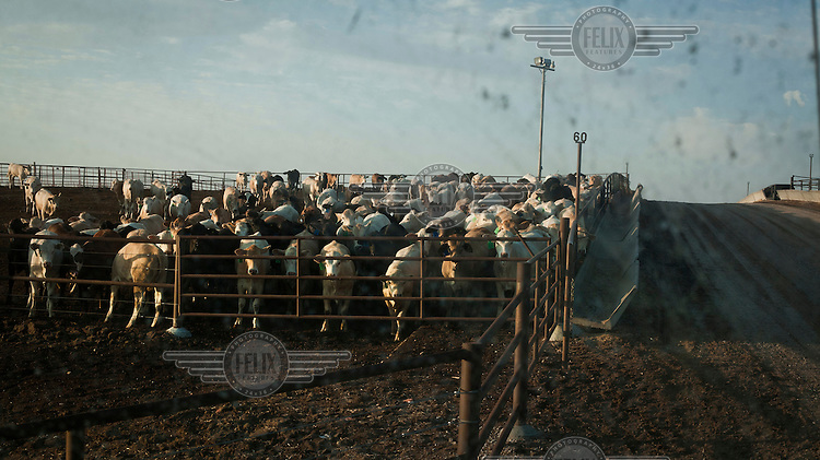 Beef cattle await one of their four daily feeds at a feedyard in Mead Kansas. A feedyard is part of the factory farming process where animals are fattened up prior to slaughter. They are mostly fed on corn or corn dervived products gaining between 2.5 and 4.5 pounds per day. 25% of all American beef is produced in Kansas.
