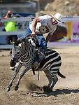 Shane Harrington races in a zebra race during the 54th International Camel Races in Virginia City, Nev., on Friday, Sept. 6, 2013.  <br /> Photo by Cathleen Allison
