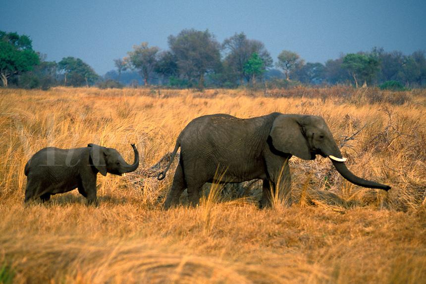 Elephant.Loxodonta africana..Okavango Delta.Botswana, Africa.1998..Ralph Arwood.Inside-Out Photography, Inc..PO Box 7578.Naples, FL 34101.941-649-4209.RalphArwood@earthlink.net