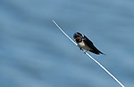 Swallow, Hirundo rustica, perched on reed over water, Ria Formosa West, Quinta Do Lago Golf Course, Algarve, Portugal