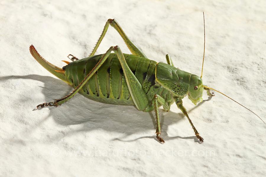 Wanstschrecke, Weibchen, Polysarcus denticauda, Orphania denticauda, Large saw tailed bush cricket, Large saw-tailed bush-cricket, female, Tettigoniidae
