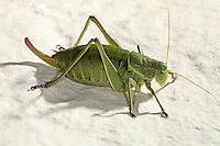 Wanstschrecke, Weibchen, Polysarcus denticauda, Orphania denticauda, Large saw tailed bush cricket, Large saw-tailed bush-cricket, female, Tettigoniidae
