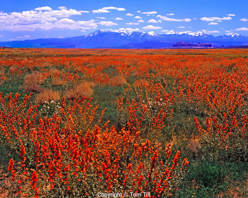 La Sal Mountain View from Spring Globemallow Fields in Salt Valley, Arches National Park, Utah