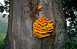 AWY78A Chicken of the woods fungus laetiporus sulphureus Yorkshire Dales, England