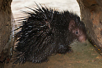 The Philippine Porcupine (Hystrix pumila), or the Indonesian Porcupine or the Palawan Porcupine, is a species  of  rodent  in the  Hystricidae  family,Palawan