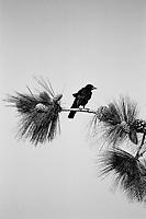 Crow, Film