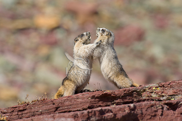 Hoary Marmots (Marmota caligata) wrestling.  Northern Rocky Mountains.  Sept.