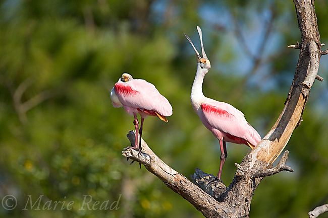 Roseate Spoonbills (Ajaia ajaja), one at right yawning, Orlando, Florida, USA