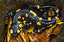 Fire / European Salamander (Salamandra salamandra) Plitvice Lakes National Park, Croatia. November.