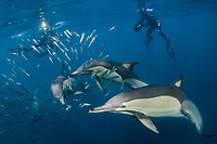 Divers look on as Long-beaked common dolphins, Delphinus capensis, attack a baitball of sardines, off Port Saint Johns on the Wild Coast of South Africa during the annual sardine run.