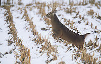 White-tailed Deer (Odocoileus virginianus), buck jumping, USA