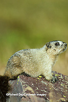 02003-00102 Hoary Marmot (Marmota caligata) Glacier NP   MT