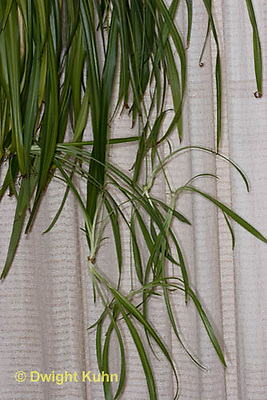 HS74-500z  Spider plant with trailing runners or stolons, Chlorophytum comosum