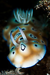 Leopard chromodoris: Chromodoris leopardus , head on view, taken in Bunaken National Park, Sulawesi, Indonesia