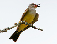 Adult western kingbird