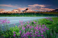 Fireweed in Thompson Pass,  Richardson Highway, Alaska.