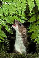 MA28-005z  Short-Tailed Weasel - ermine drinking water on leaves in forest in brown summer coat - Mustela erminea