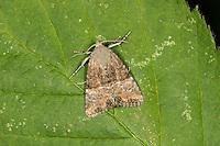 Cloaked Minor - Mesoligia furuncula