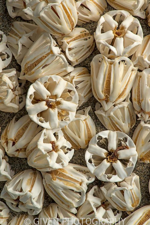 Sea Urchin; Aristotle's Lantern