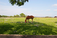 Quarter horse grazing in field of Texas pink and white buttercups during a beautiful sunny day in the Texas Hill Country