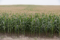 A field of corn stretches to the horizon near Dickinson, North Dakota.