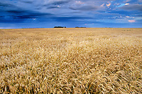Field of wheat ready for harvest near Casselton, North Dakota, AGPix_0599..